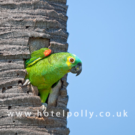 Blue Fronted Amazon Profile Care Guide Parrot Essentials