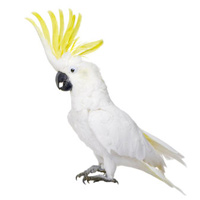 Cockatoo Parrot