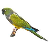 Conure Large
