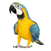 Macaw Parrot Large