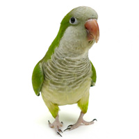 Quakers Parrot or Monk Parakeet